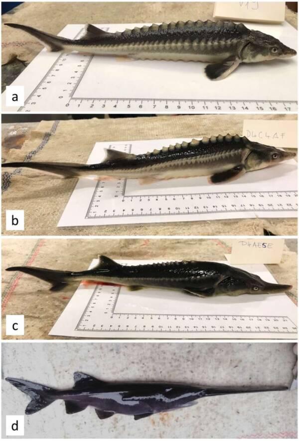 Sturgeon Sturddlefish And Paddlefish