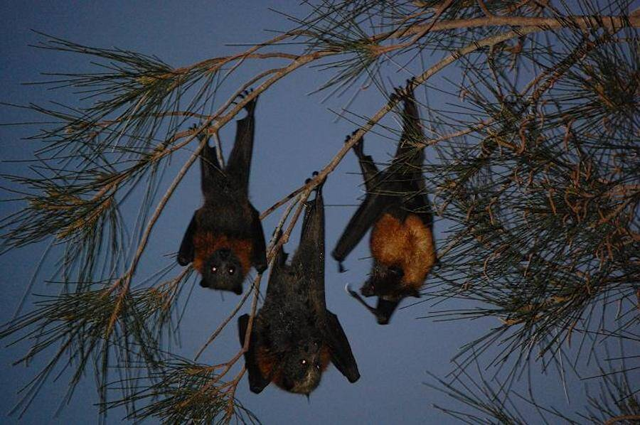 Three Giant Golden Crowned Flying Foxes