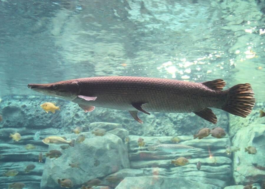 Alligator Gar In Aquarium