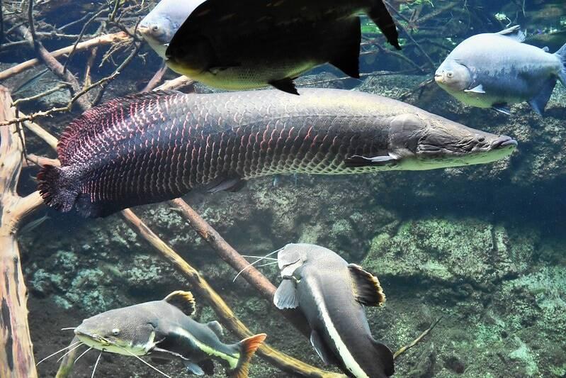 Aquarium Arapaima