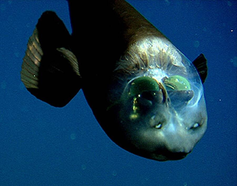 Barreleye Fish Head