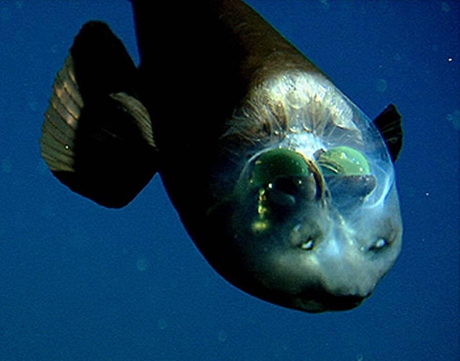 Barreleye Fish Head