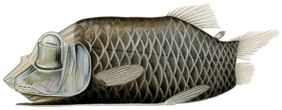 Barreleye Fish Specimen