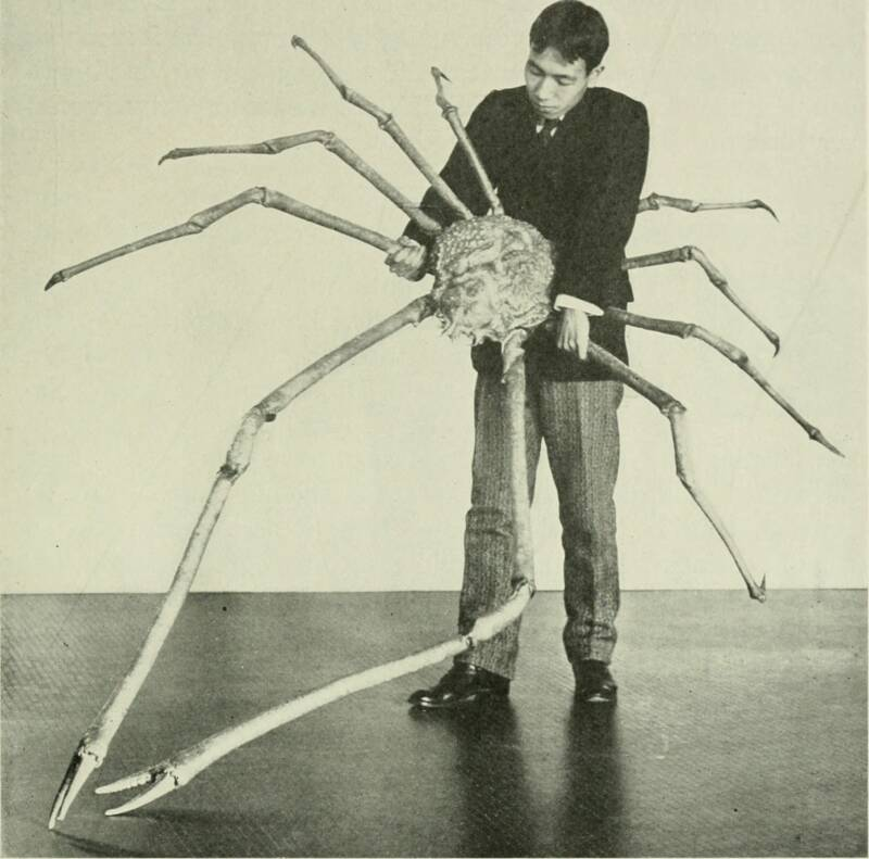 Early Spider Crab Specimen