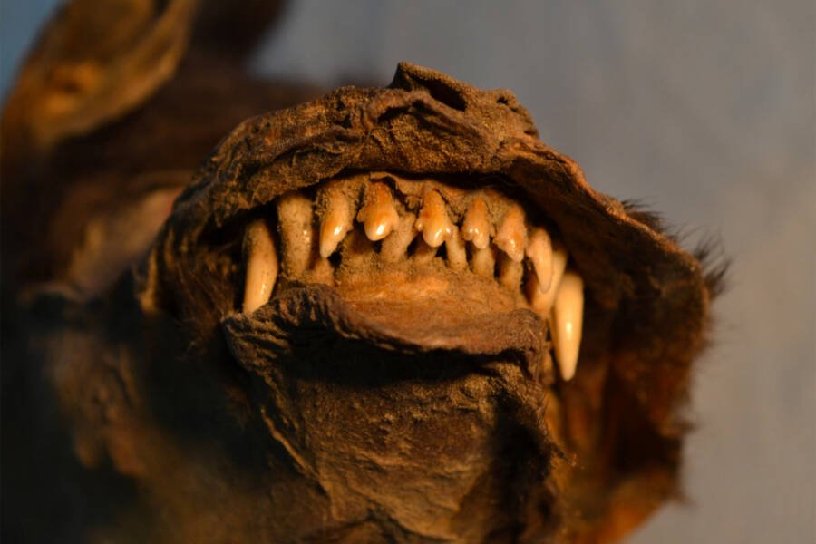 Excavated Prehistoric Siberian Canine