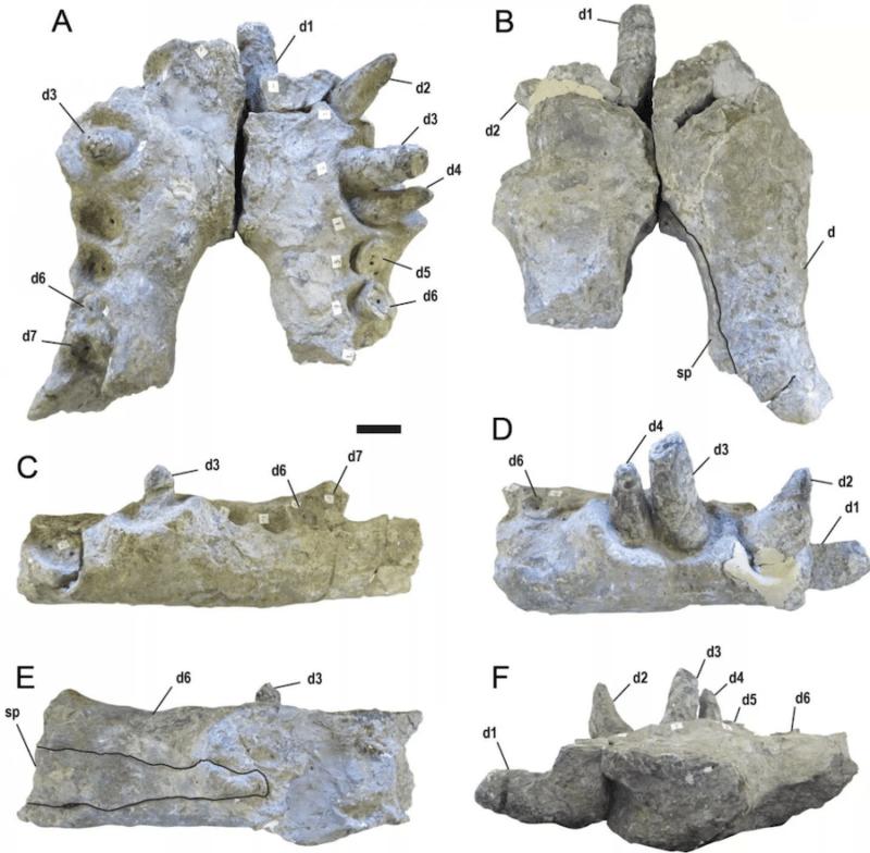 Fossils Of Deinosuchus Mouth