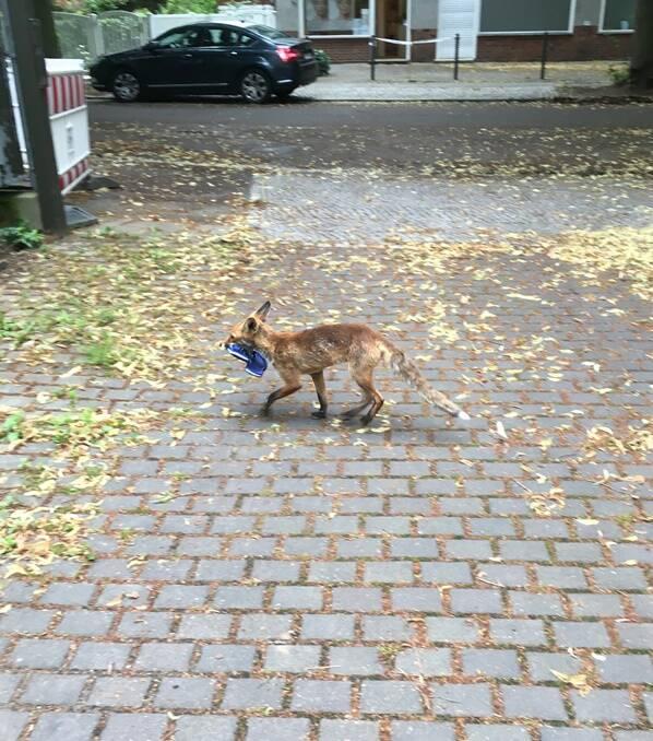 Fox Stealing Shoe
