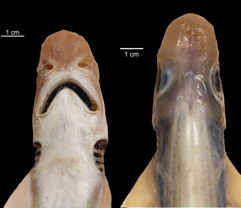 Healthy And Abnormal Catfish Shark Comparison