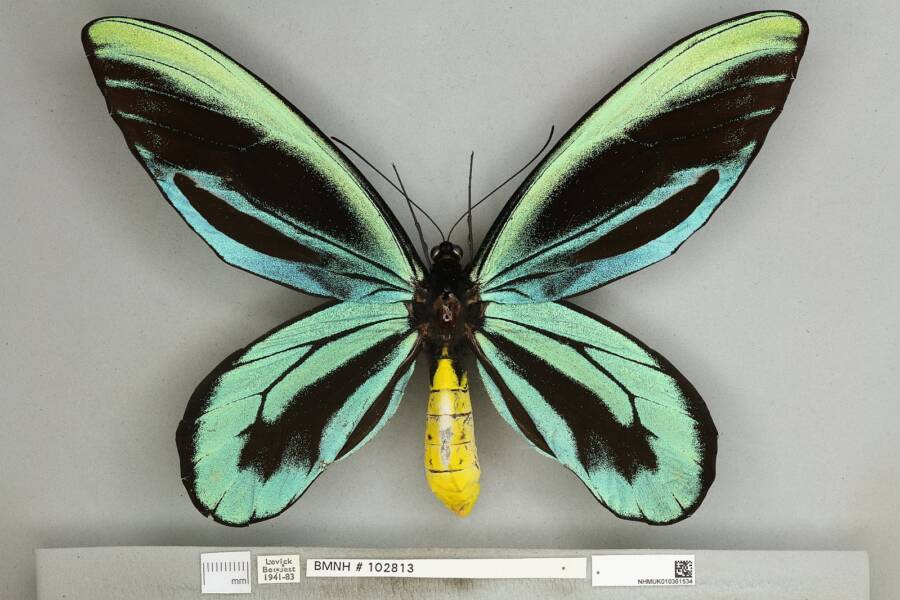 Male Queen Alexandra's Birdwing