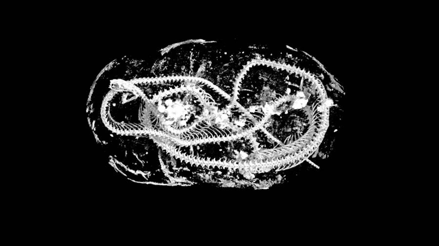 Mummified Cobra