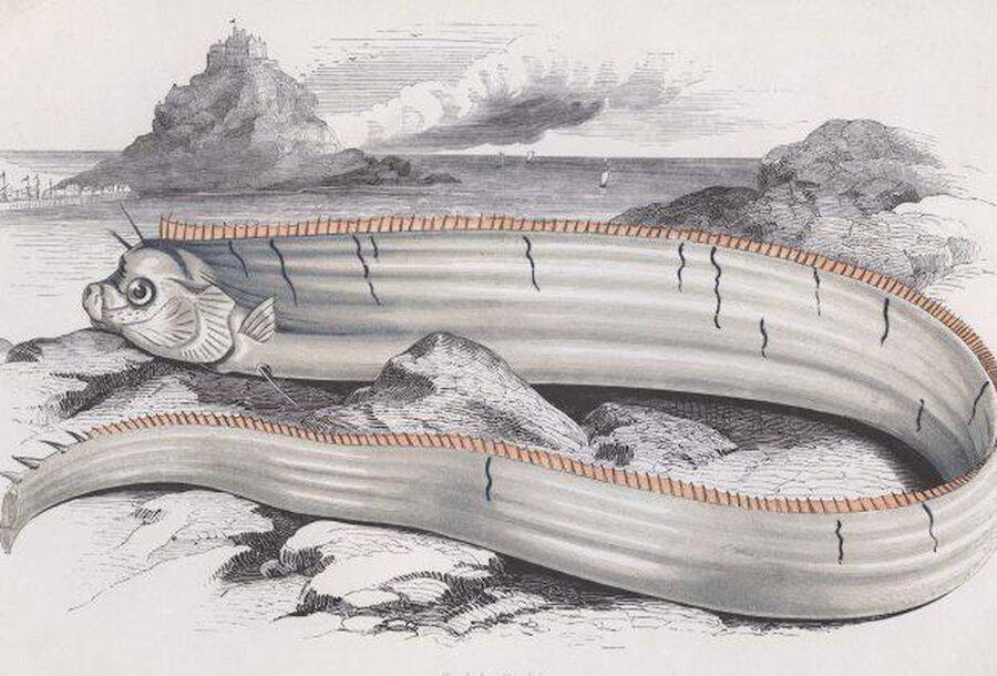 Oarfish Illustration