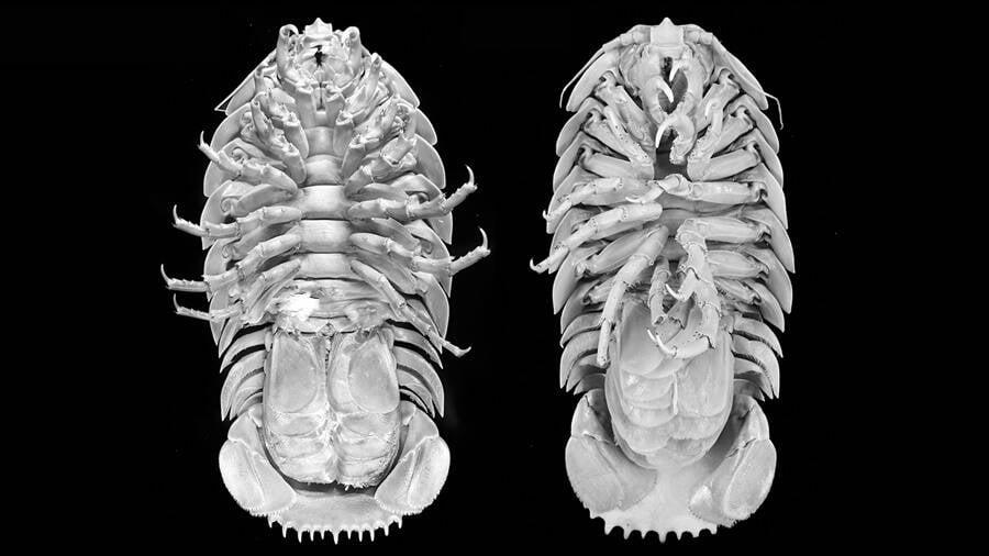 Scans Of Supergiant Isopod Raksasa Species