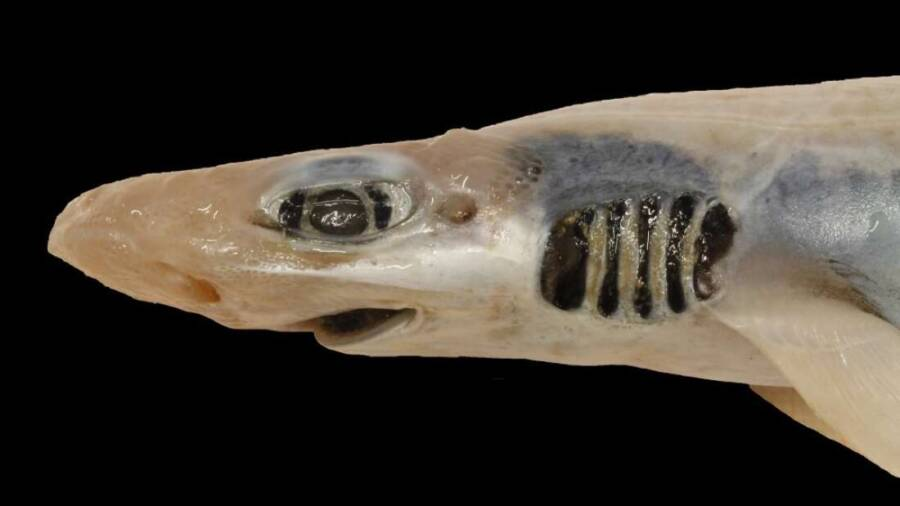 Skinless And Toothless Catfish Shark