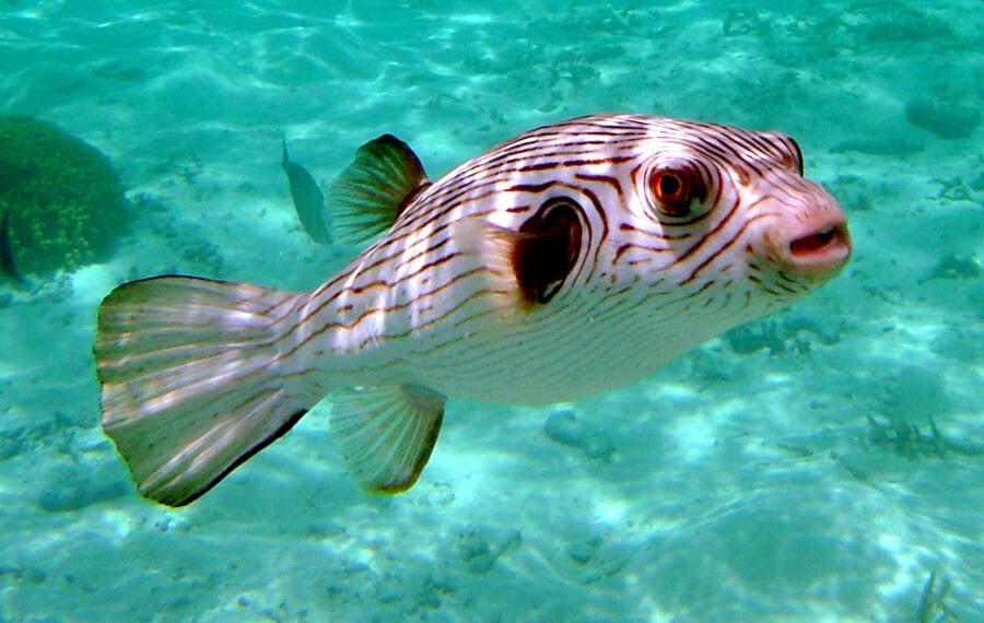 Striped Puffer Blowfish