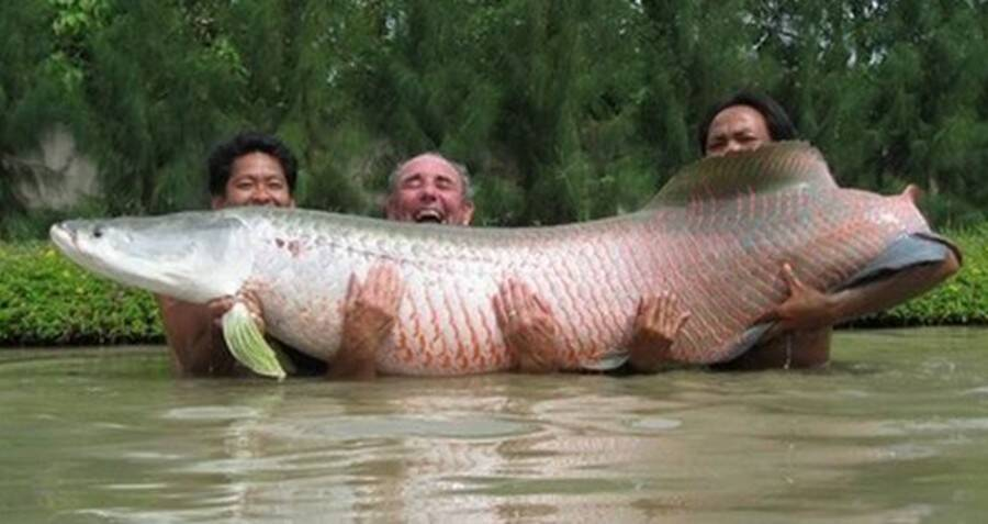 Meet The Arapaima, The Amazon 'River Monster' That Has Survived For 23 Million Years