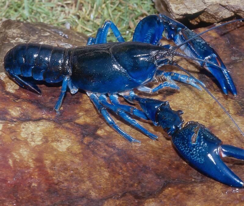 Big Blue Lobster