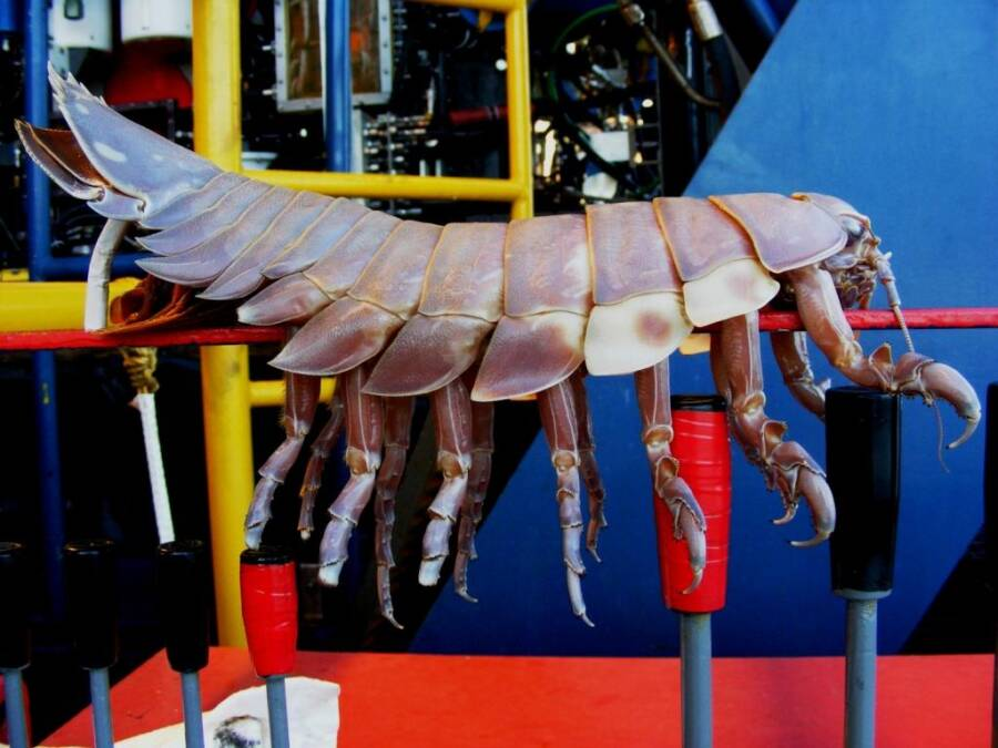 Giant Isopod From Gulf Of Mexico