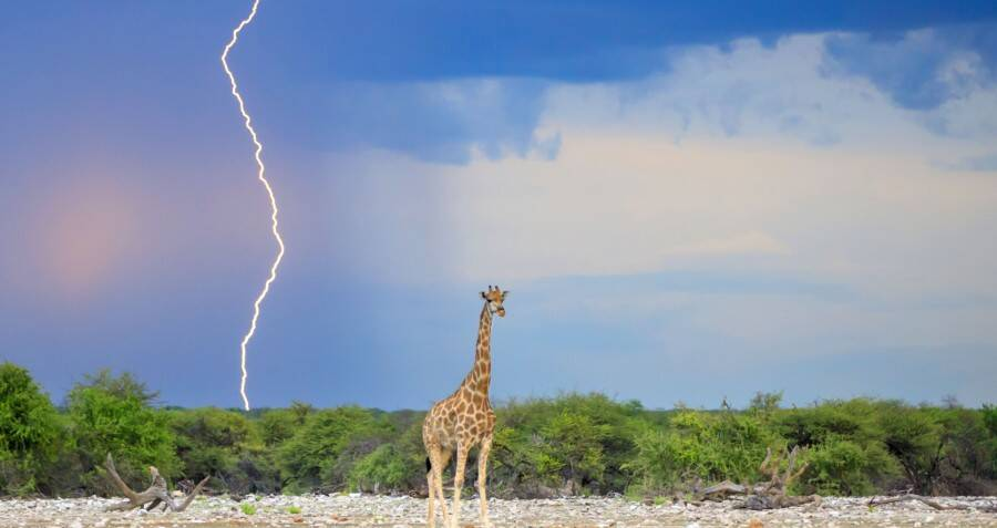 Scientists Think That Giraffes Might Be Lightning Rods Due To Their Towering Height