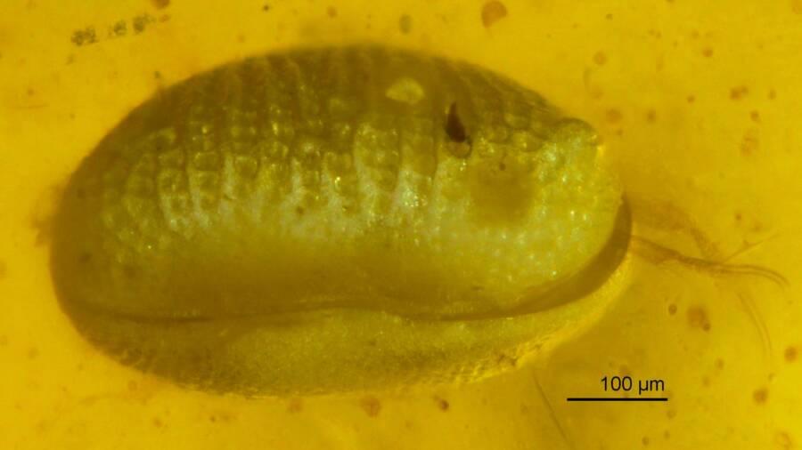 Myanmarcypris Hui Fossil