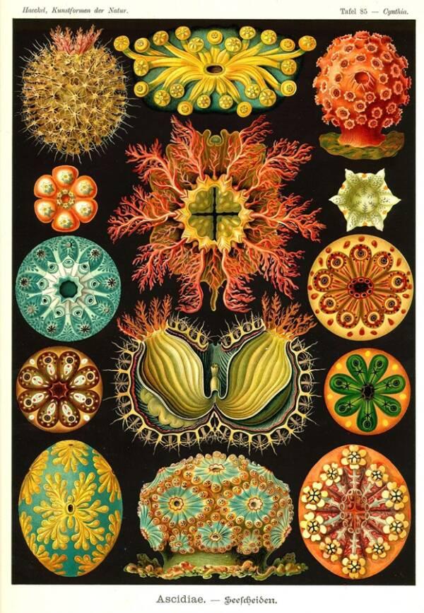 Ascidians