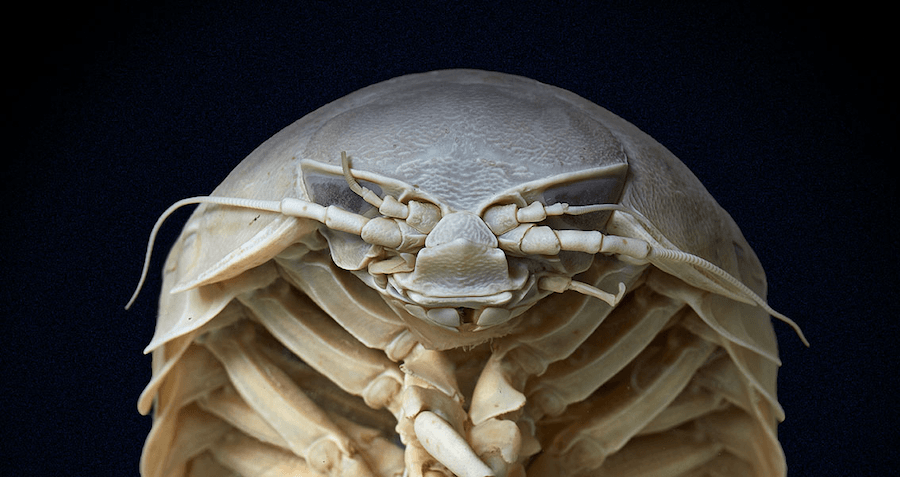 Meet The 20-Inch-Long 'Roly-Poly Of The Sea' That Will Eat Just About Anything