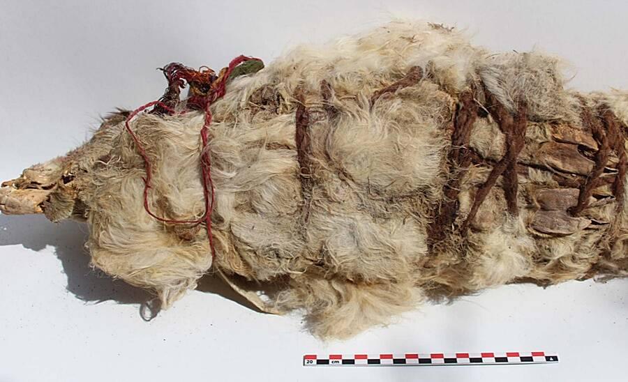 Mummified Inca Llama Sacrifice