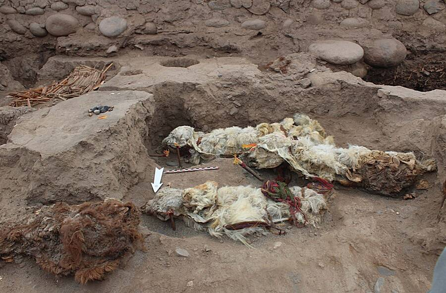 Mummified Llamas
