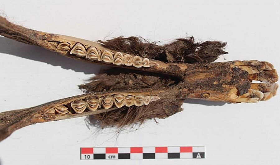 Part Of Mummified Llama
