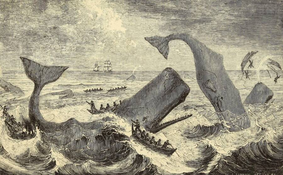 Sperm Whales Attacking Whaling Ships