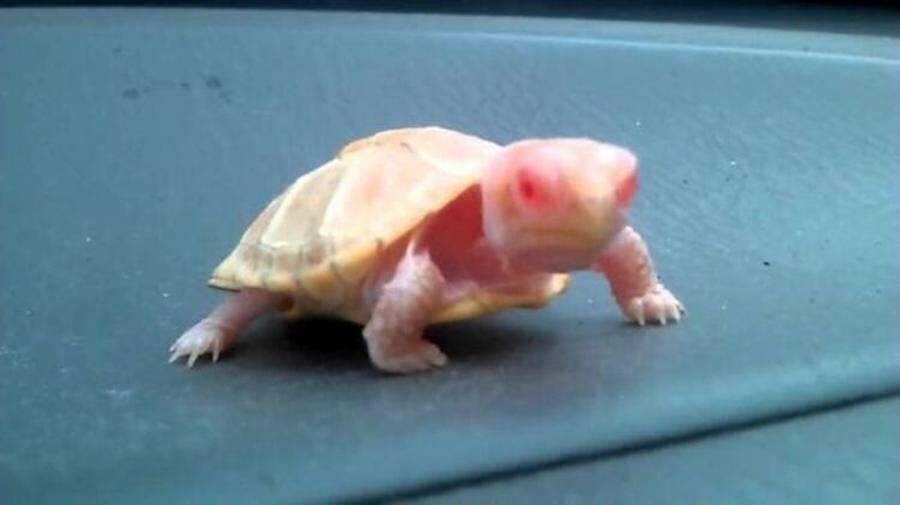 Albino Turtle With Pink Eyes