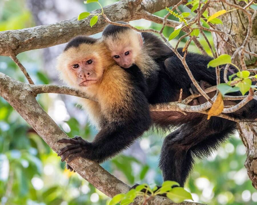 Capuchin Mother And Baby
