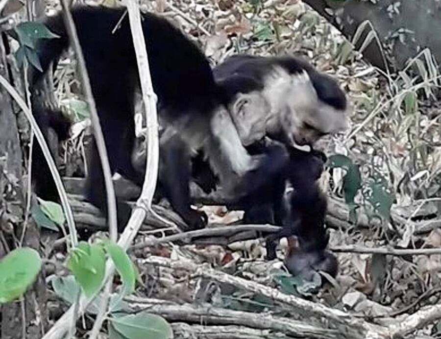 Capuchins Eating Infant