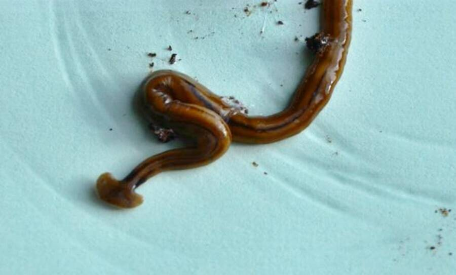 Giant Hammerhead Flatworm