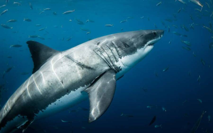 Great White Shark In Blue Waters