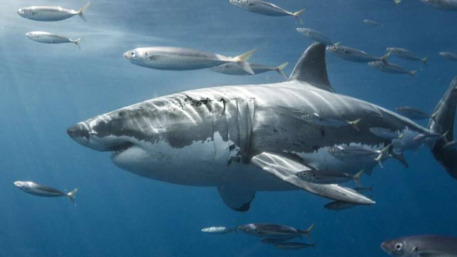 Great White Shark Swimming With Fishes