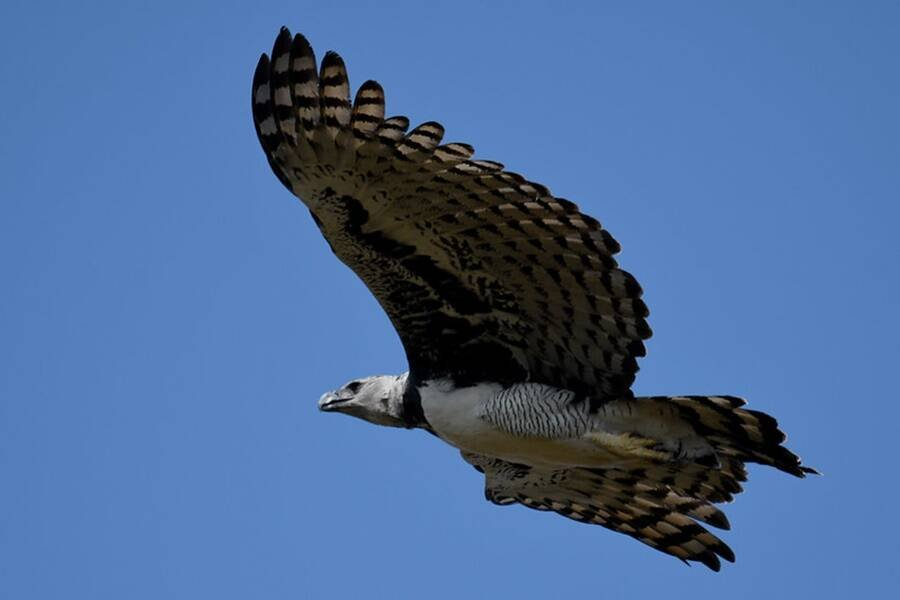 Harpy Eagle Flying
