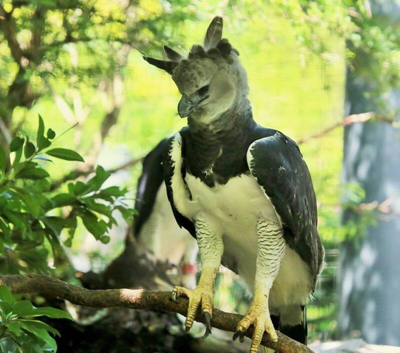 Harpy Eagle Perched On Branch
