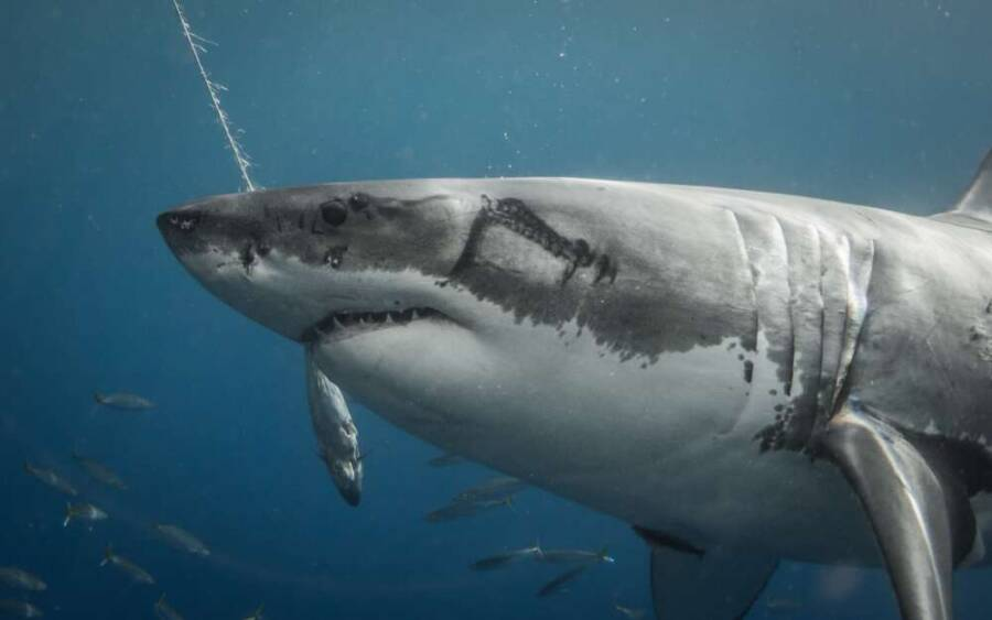 Illustration Of Great White Shark With Scars