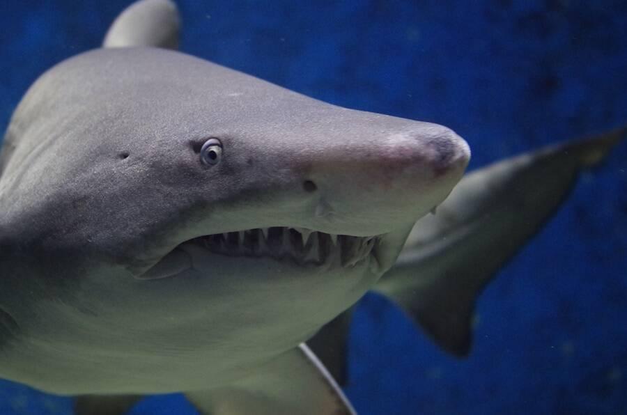 Modern Shark
