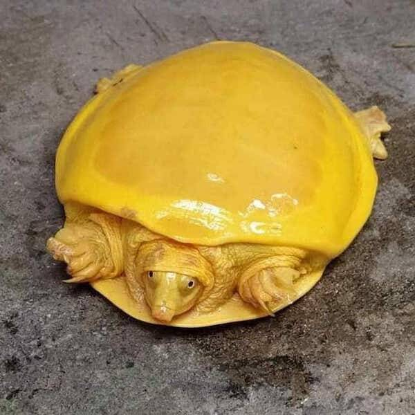 Yellow Turtle From Above