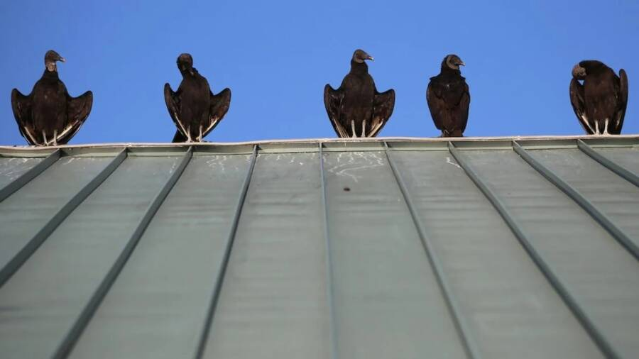 Black Vultures On Roof