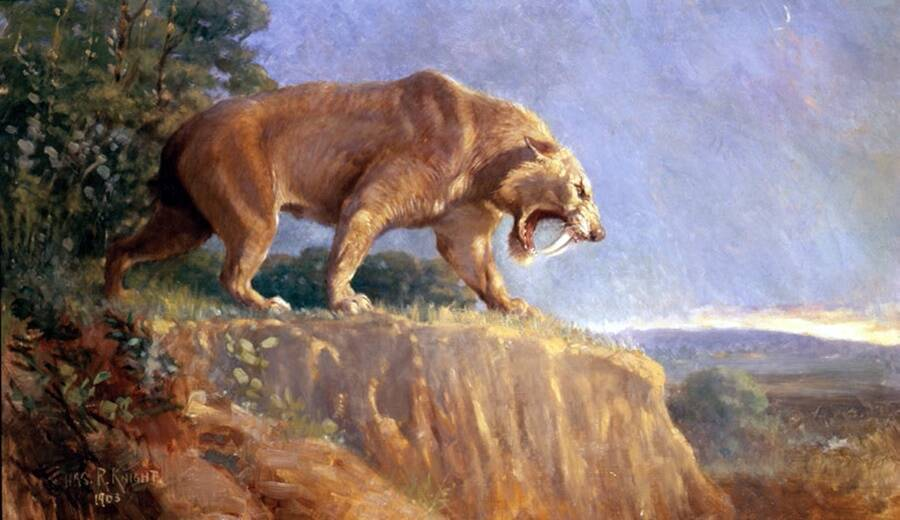 Illustration Of Smilodon Populator