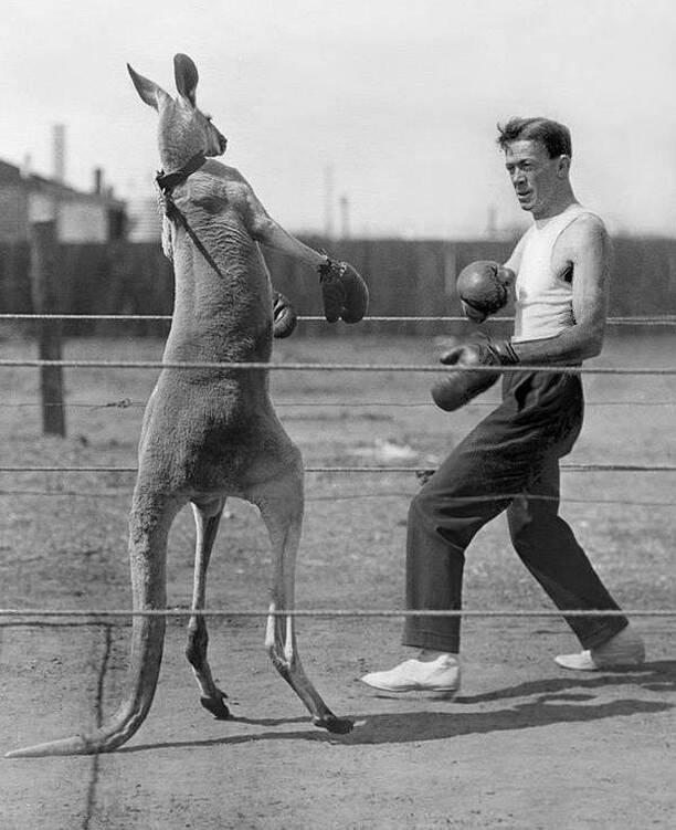 Strange Pictures Kangaroo Boxing