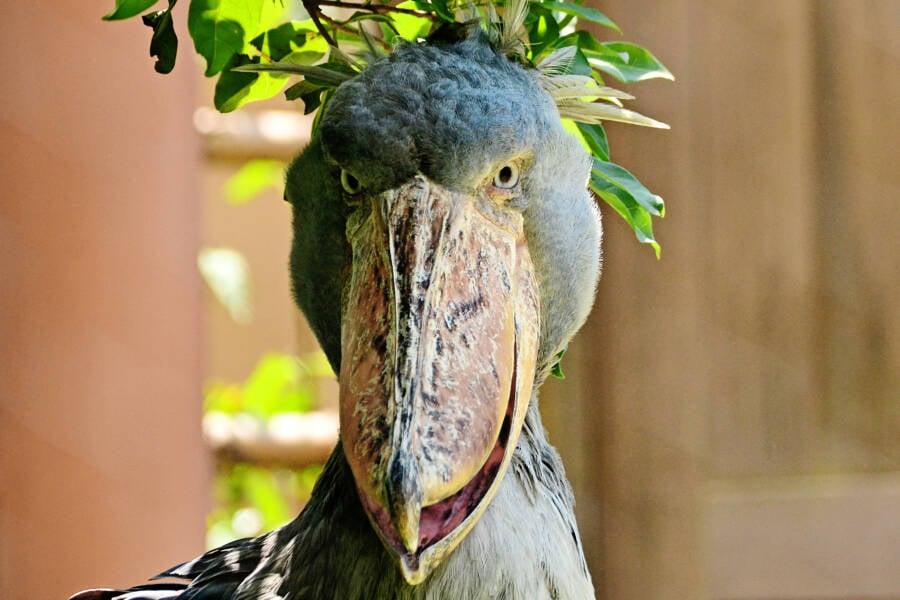 Shoebill Face Up Close