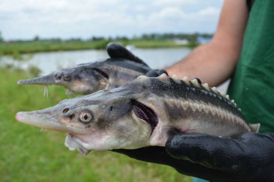 Two Sturddlefish Being Held