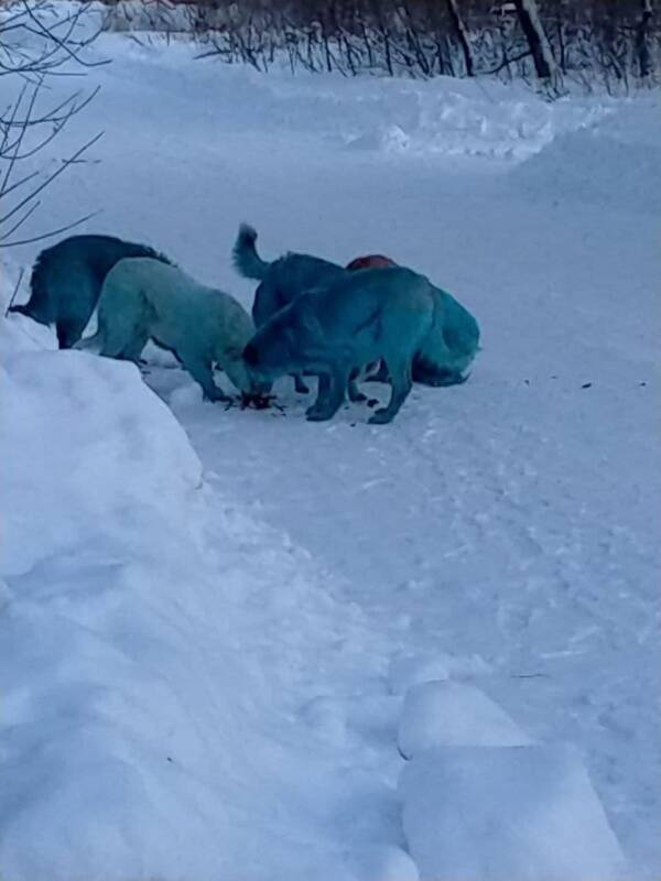 Pack Of Blue Dogs