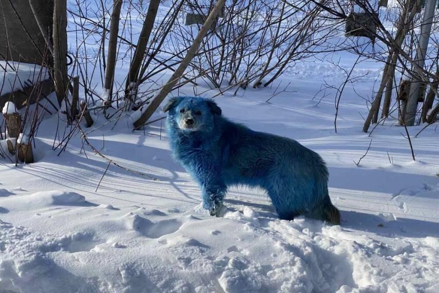 Single Blue Dog