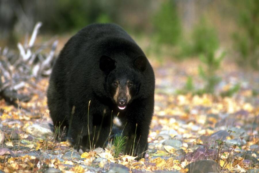 Black Bear Adult