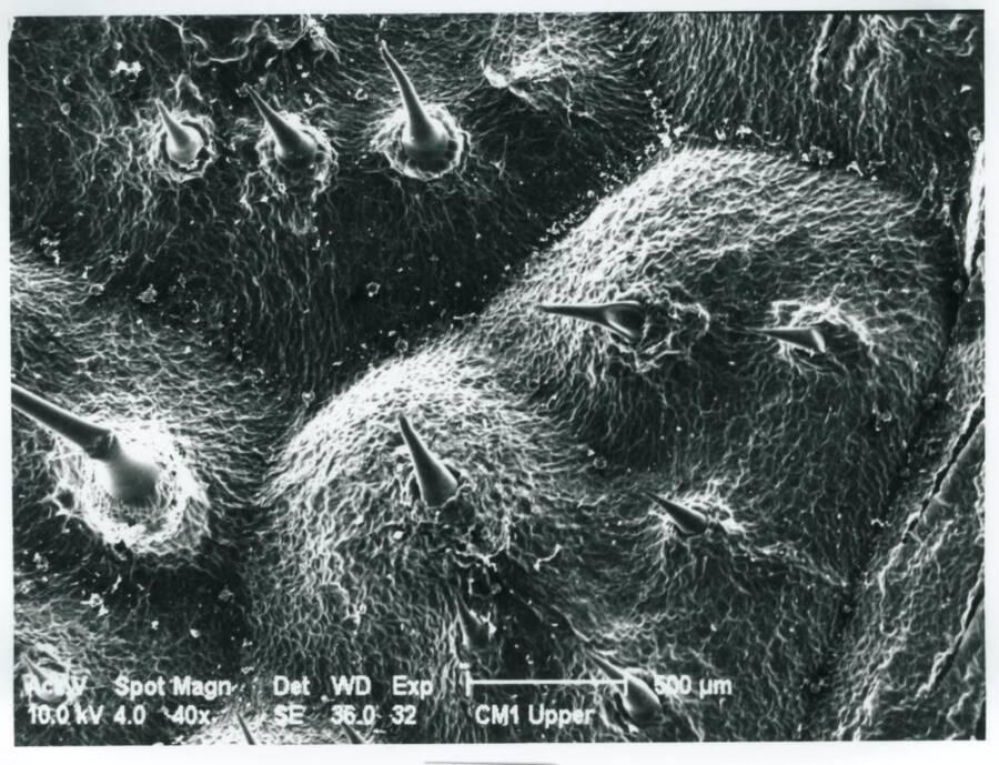 Dendrocnide Moroides Hair Detail