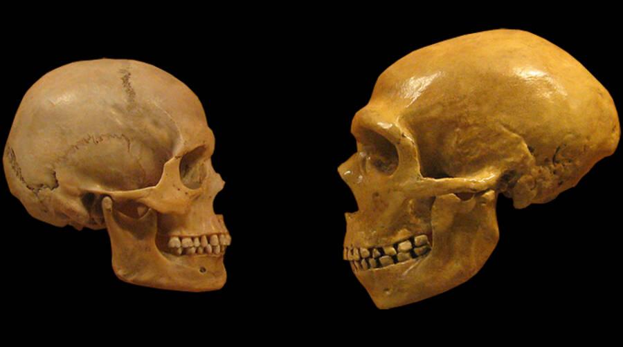 Human Skull And Neanderthal Skull